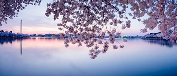 Cherry blossoms frame the Washington Monument and Jefferson Memorial -XXXL stock photo