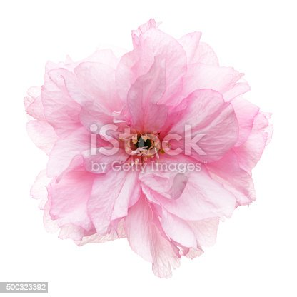 istock Cherry blossoms head against white 500323392