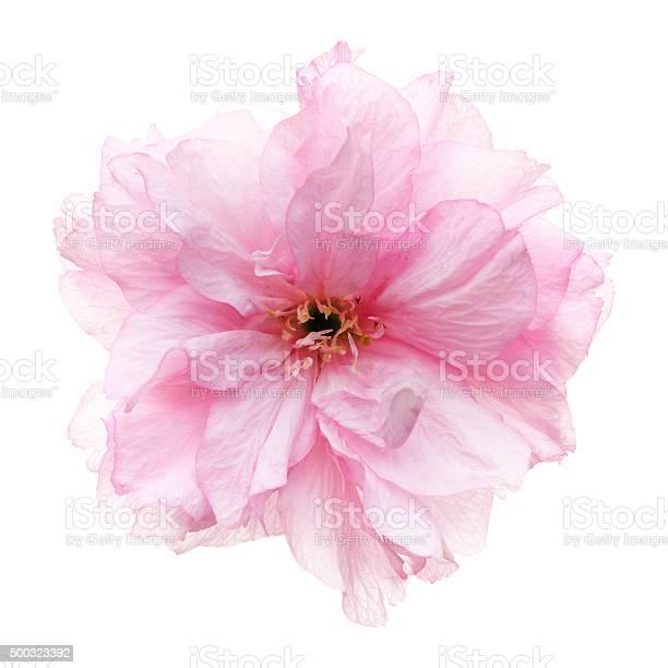 Cherry blossoms head against white picture id500323392?b=1&k=6&m=500323392&s=612x612&h=imogwai9lx pvxtsk1pn7dvrnh28mhfynvs tmijm a=