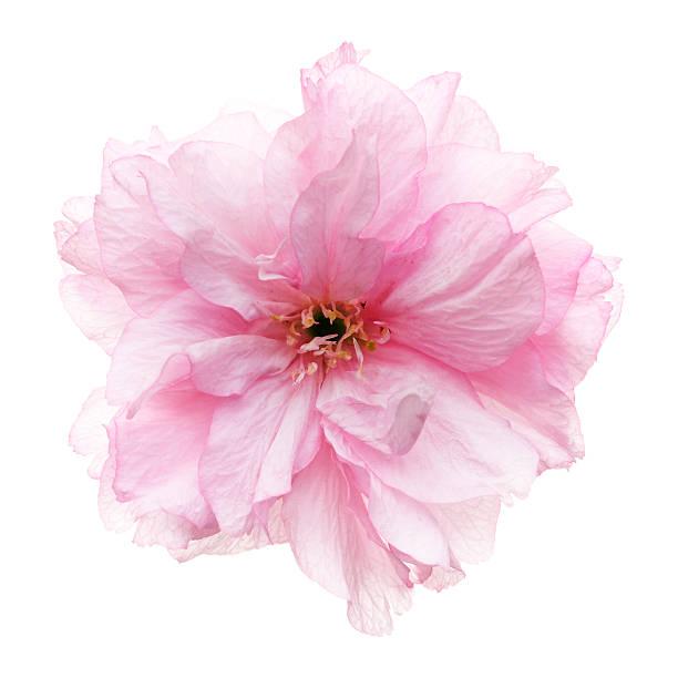 Cherry blossoms head against white picture id500323392?b=1&k=6&m=500323392&s=612x612&w=0&h=sybwdikyptjrfoziq8jbzxzijz8menpkxs8zljefx3i=