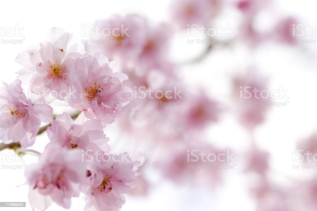 Cherry blossoms high key royalty-free stock photo