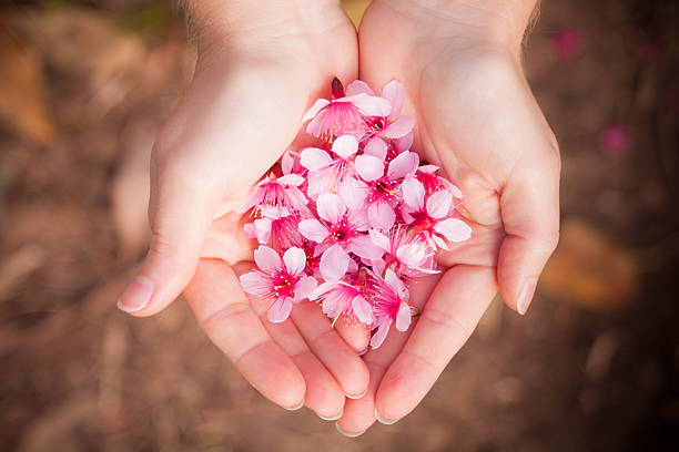 Cherry Blossoms in a Females Hand stock photo