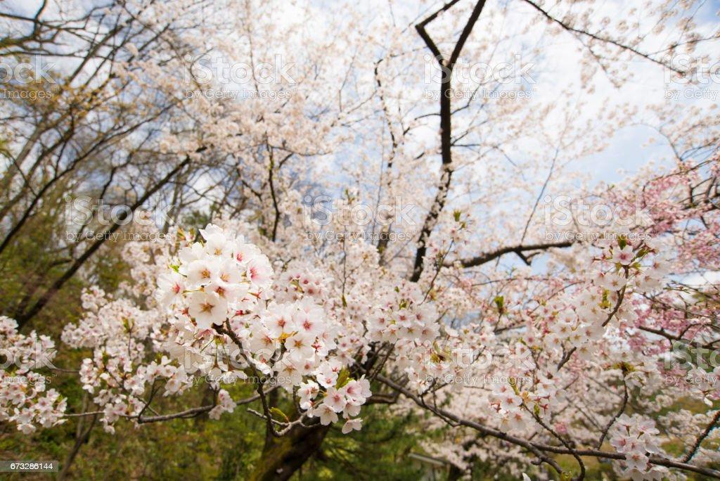 Kirschblüte in Japan Akita – Foto