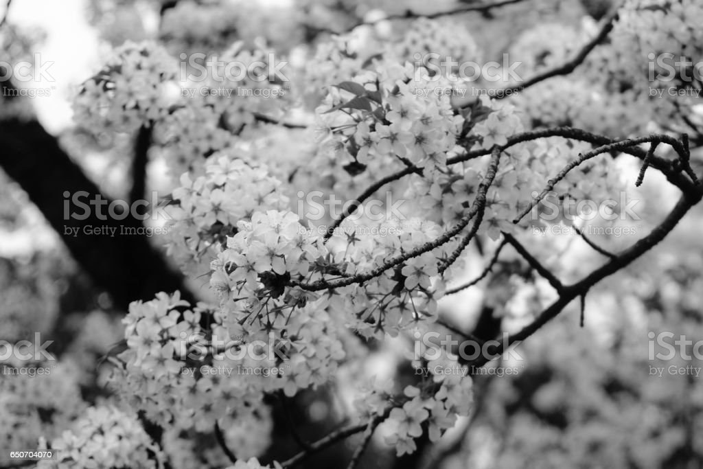 Cherry Blossoms In Black And White Royalty Free Stock Photo