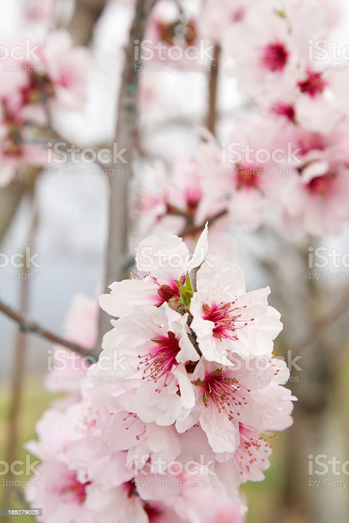 Cherry blossoms in bloom royalty-free stock photo