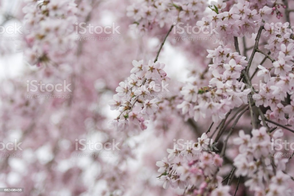 Cherry Blossoms in Bloom foto stock royalty-free