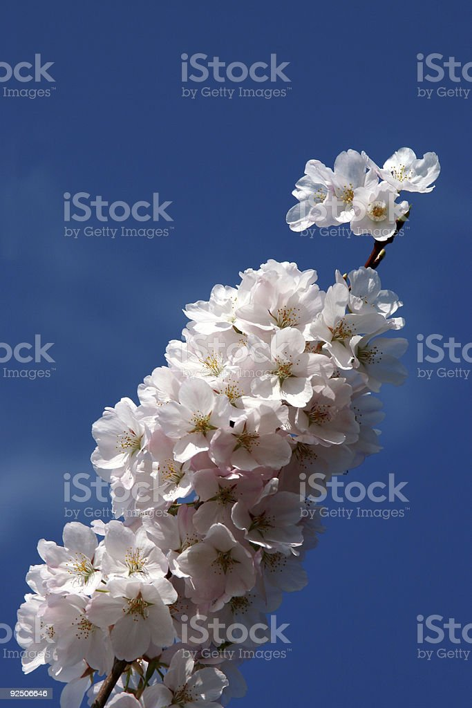 Cherry blossoms in bloom stock photo