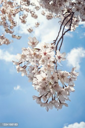 istock Cherry Blossoms in DC 1334166183