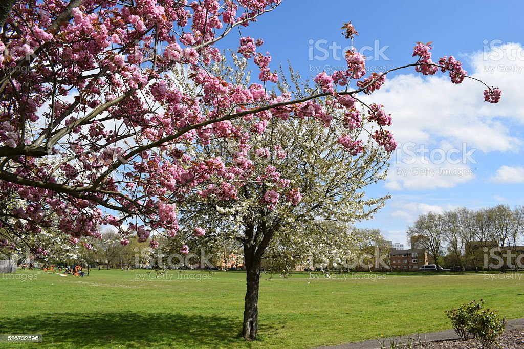 Cherry blossoms in Deptford park stock photo