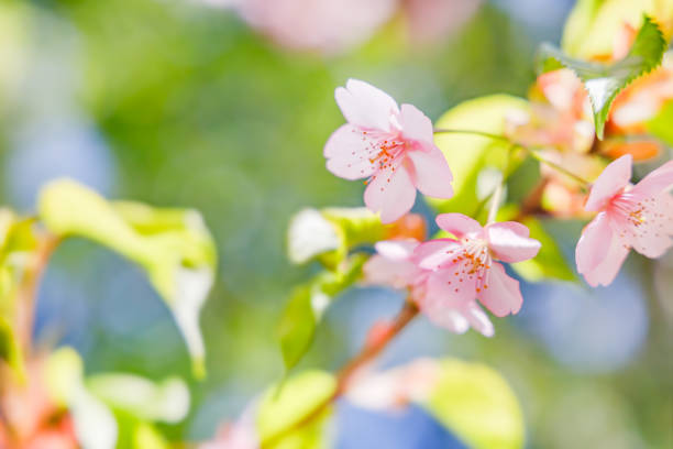 Cherry blossoms in full bloom and fresh green leaves stock photo