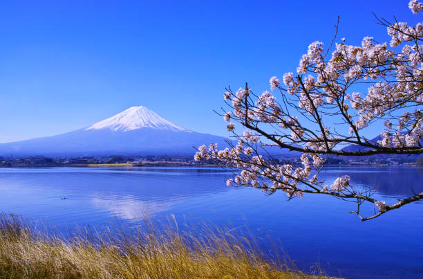 Cherry blossoms in full bloom and Mt. Fuji Yamanashi Prefecture Fuji Kawaguchiko Town. Cherry blossoms in full bloom and Mt. Fuji seen from the northern coast of Kawaguchiko. lake kawaguchi stock pictures, royalty-free photos & images