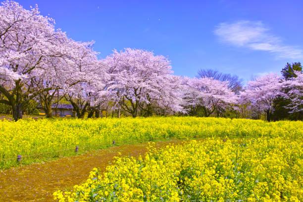 cerisiers en pleine floraison et viol fleurs - paysage mois de mars photos et images de collection