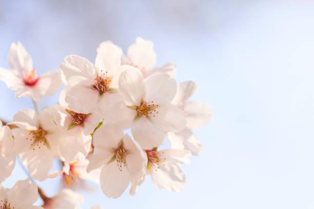 Kirschblüten in voller Blüte in Yamanashi-Japan Frühling- – Foto