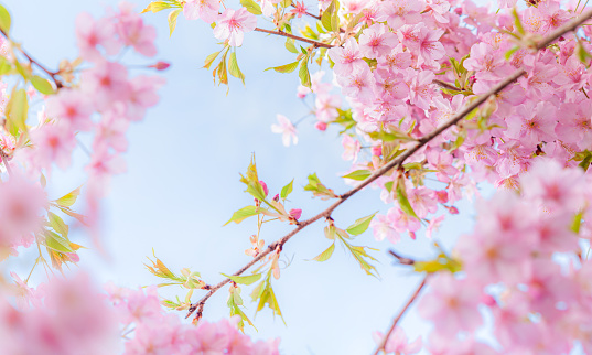 Cherry blossoms in full bloom on blue sky  background. Panoramic image.