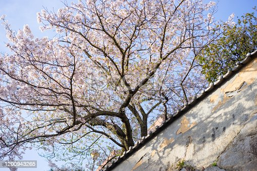 Cherry blossoms in full bloom on the stone wall image.