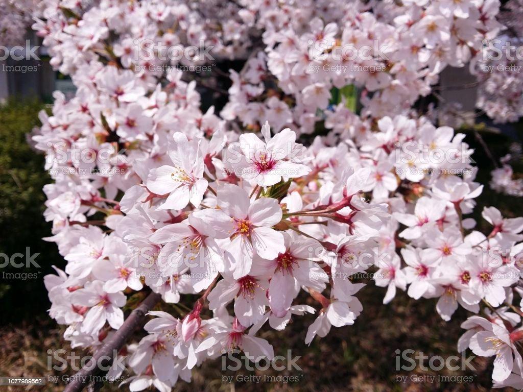 満開の桜。 ストックフォト