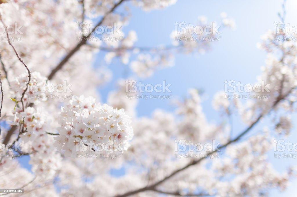 日本の桜。 ストックフォト