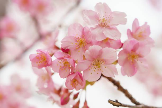 cherry blossoms in japan - cherry blossoms imagens e fotografias de stock