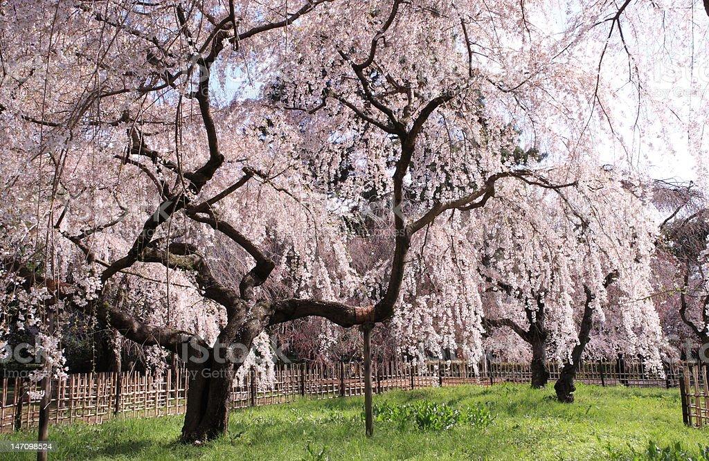 桜の京都御所 ロイヤリティフリーストックフォト