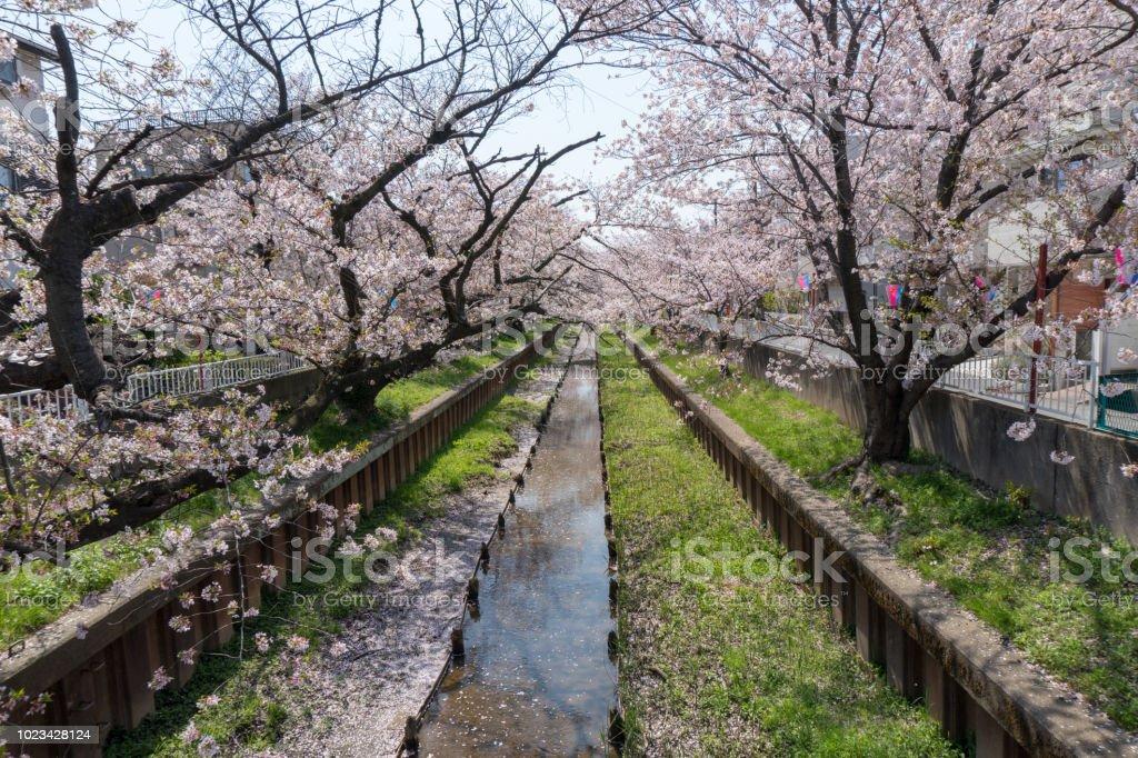 渋川市、住吉、神奈川県の桜 ストックフォト