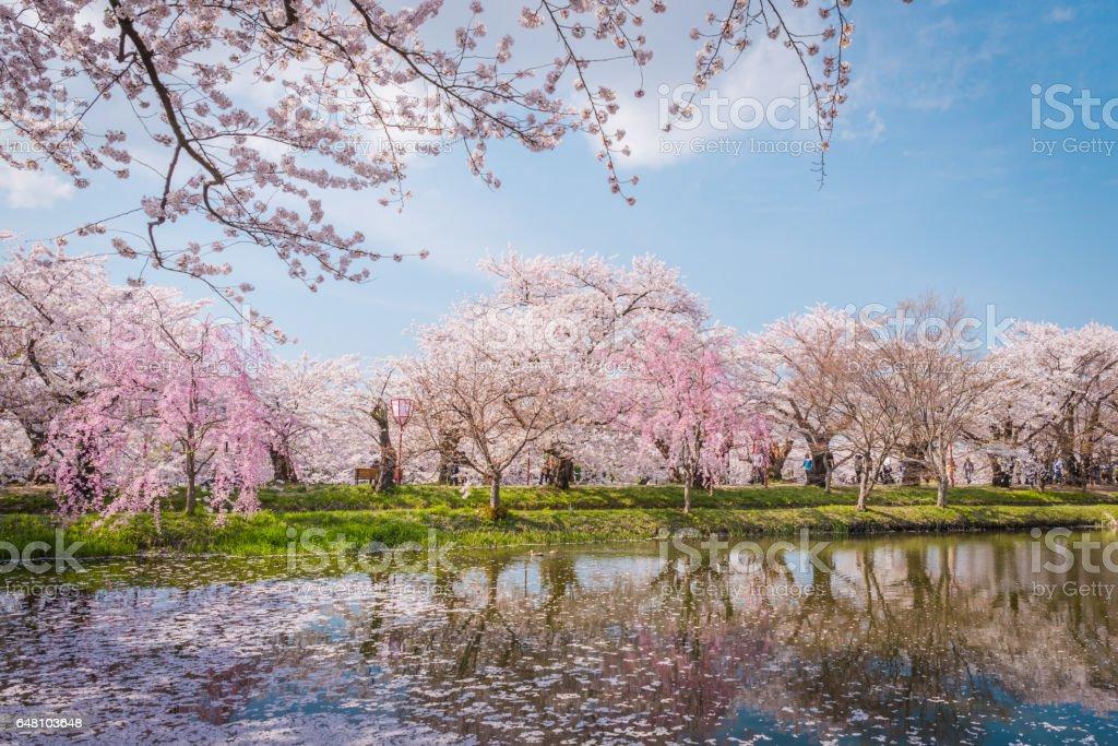 Cherry blossoms in spring at Hirosaki Castle,Aomori Prefecture,Japan stock photo
