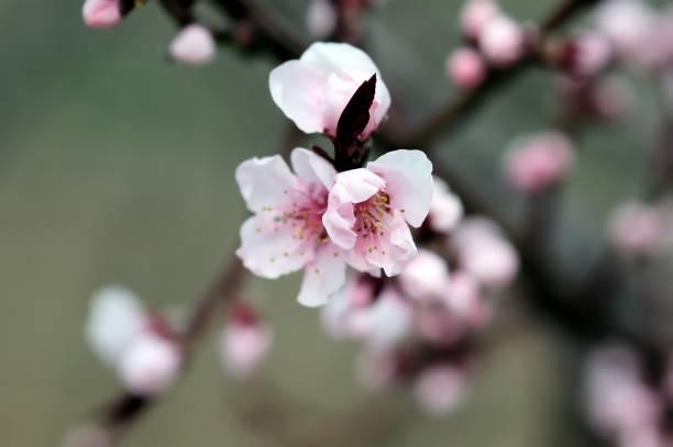 Kirschblüten im Frühling, Nahaufnahme – Foto