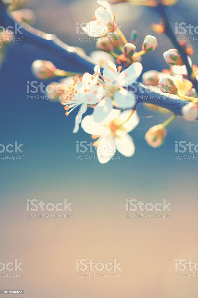 Cherry blossoms in spring stock photo