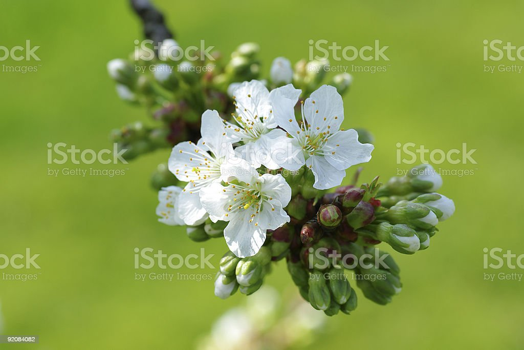 Cherry blossoms in spring royalty-free stock photo