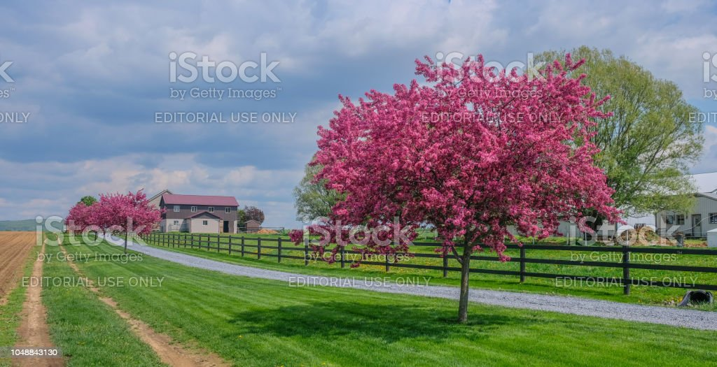 Cherry blossoms in the farm stock photo