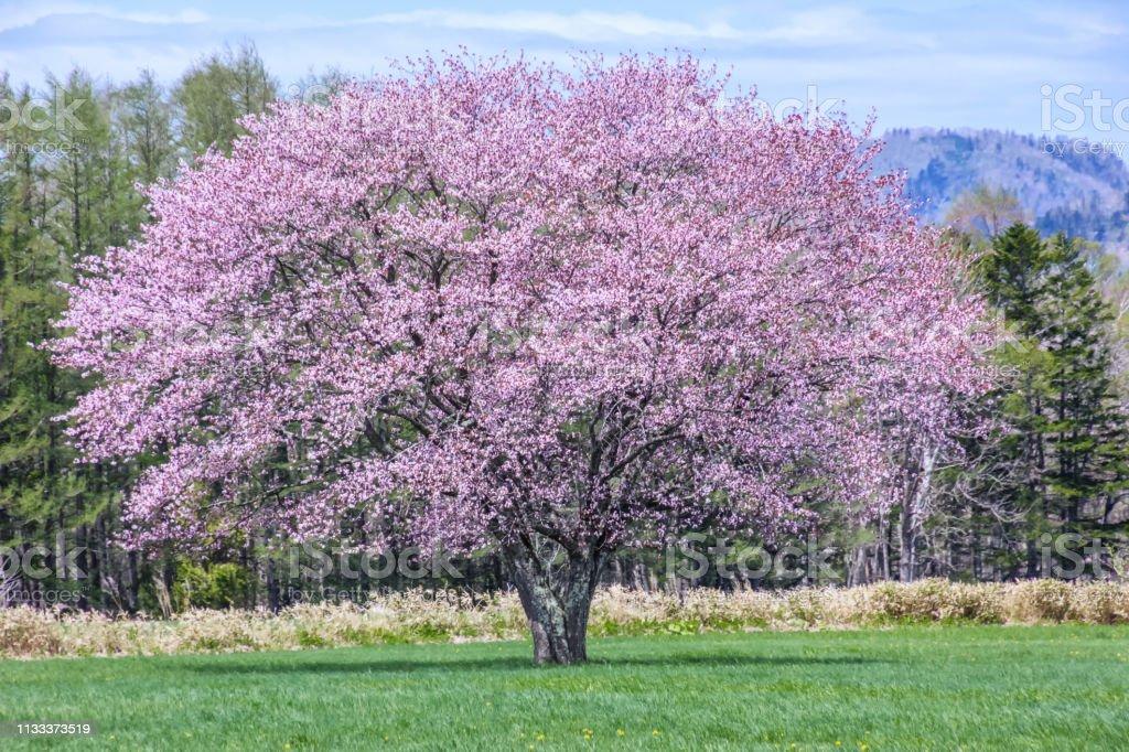 北海道の草原の桜 ストックフォト