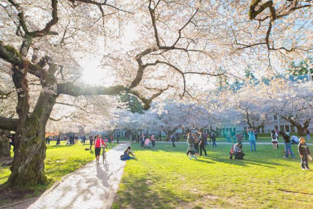 Cherry Blossoms in the Quad, University of Washington stock photo