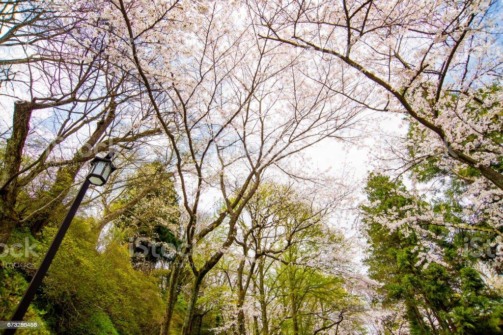 Kirschblüten am Himmel – Foto