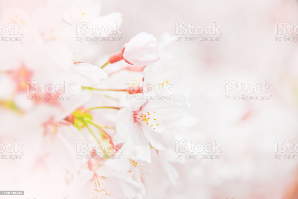 cherry blossoms in the springtime stock photo