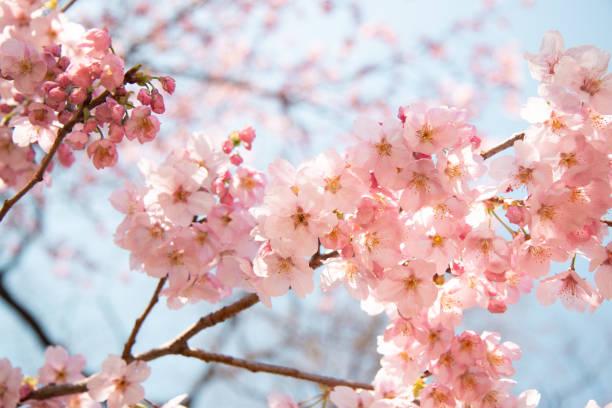 cherry blossoms in tokyo - cherry blossoms imagens e fotografias de stock