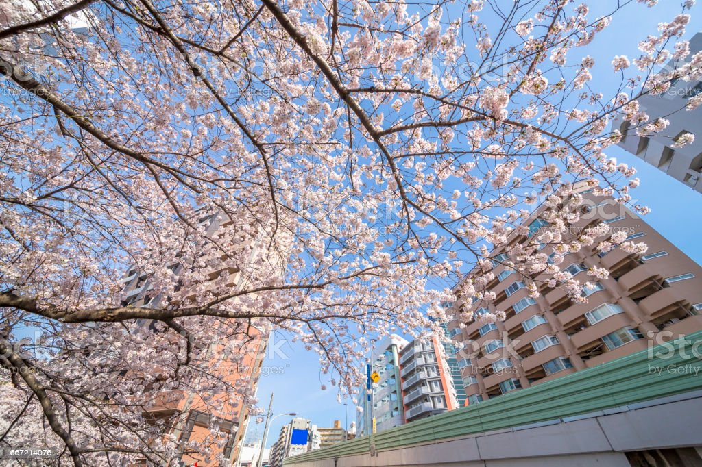 Cherry blossoms in Tokyo royalty-free stock photo