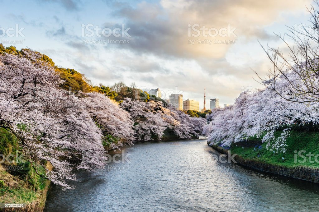 Cherry Blossoms in Tokyo with Tokyo Tower on background stock photo