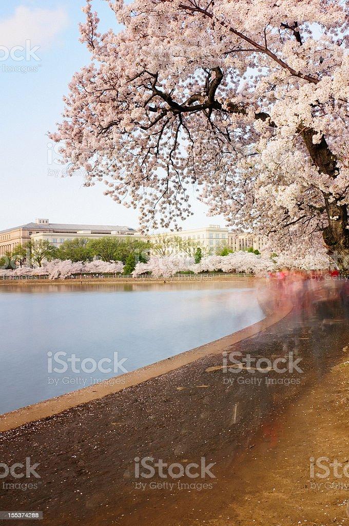 Cherry Blossoms in Washington DC royalty-free stock photo