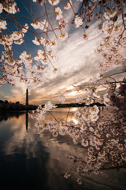 Cherry Blossoms in Washington, D.C.