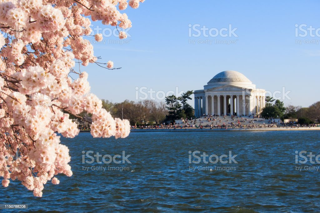 Cherry blossoms in Washington - Royalty-free Cherry Blossom Stock Photo