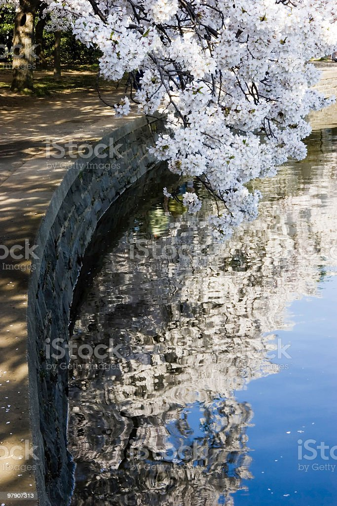 Cherry Blossoms in Washington royalty-free stock photo