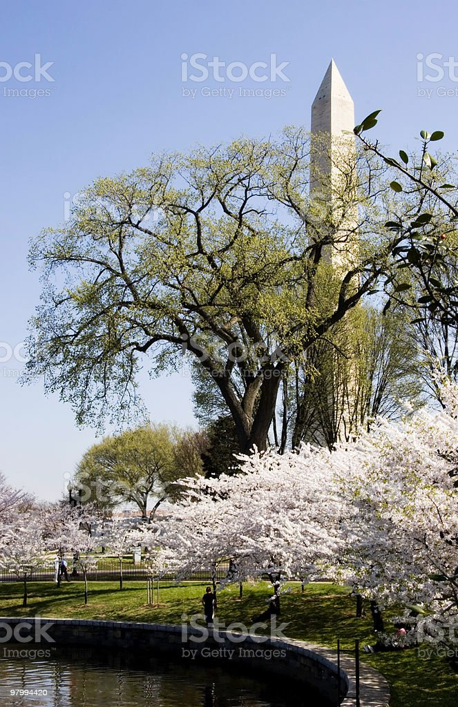 Cherry Blossoms in Washington royalty-free stock photo