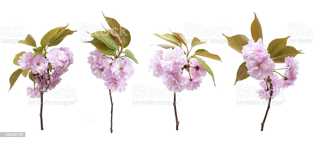Cherry blossoms isolated on white background royalty-free stock photo