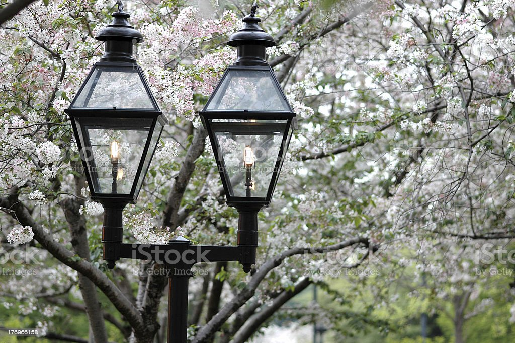 Cherry Blossoms & Lamps stock photo