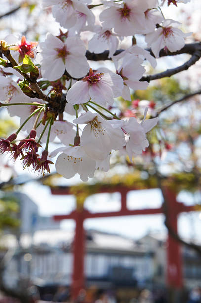 Cherry blossoms near Japanese shrine Cherry blossoms standing near a