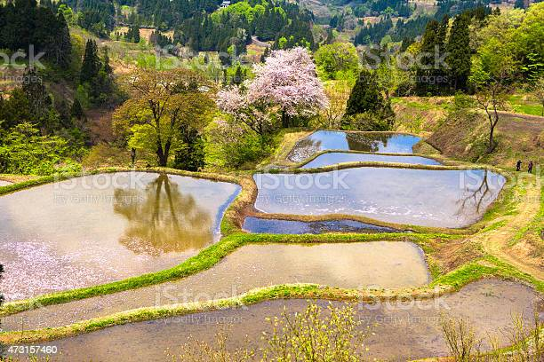 Cherry blossoms of terraced rice fields picture id473157460?b=1&k=6&m=473157460&s=612x612&h=qawoomauyq9lu4xrkhkahgnf68ieq9bvrpxlvl issq=