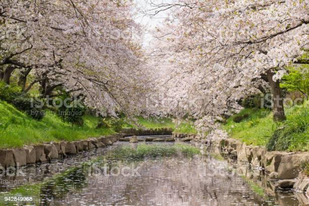 Cherry blossoms of the former arakawa river passing past the flowers picture id942849968?b=1&k=6&m=942849968&s=612x612&h=9r gxip96zsz2el5 jlpx99kbx6diu14mddaszlz8ve=