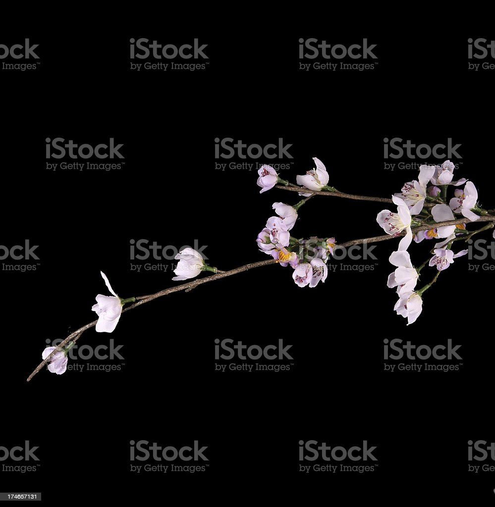Cherry blossoms on black royalty-free stock photo