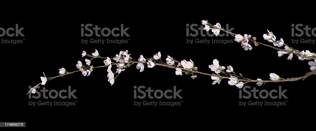 Cherry blossoms on black XL stock photo