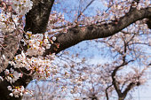 istock Cherry blossoms on sunny day 1310035095