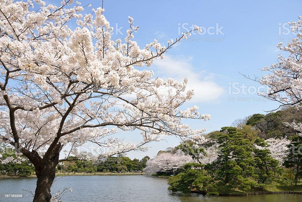 Cherry blossoms on the lakeside (XXXLarge) royalty-free stock photo